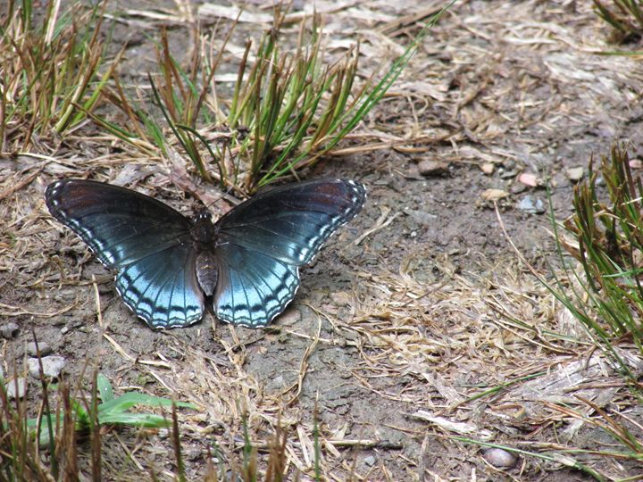 Spicebush Swallowtail Butterfly Wing - Michael