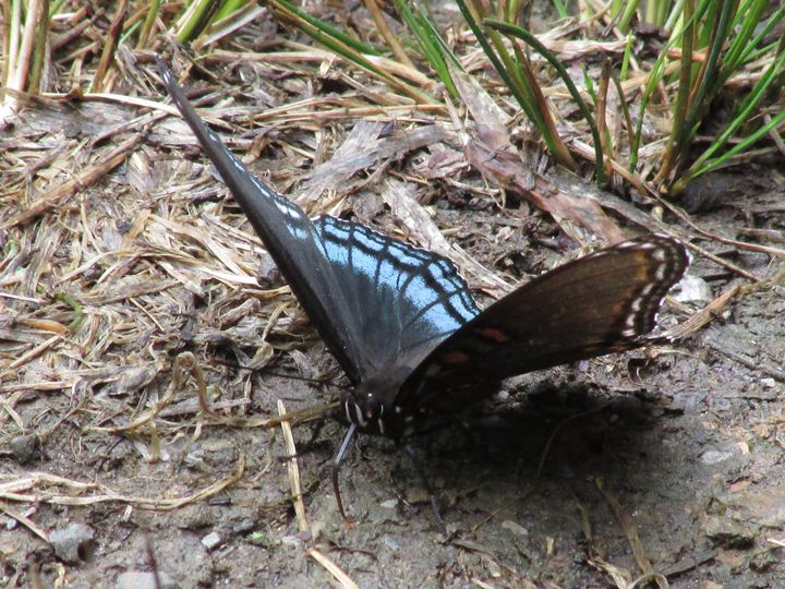 Spicebush Swallowtail Butterfly - Michael