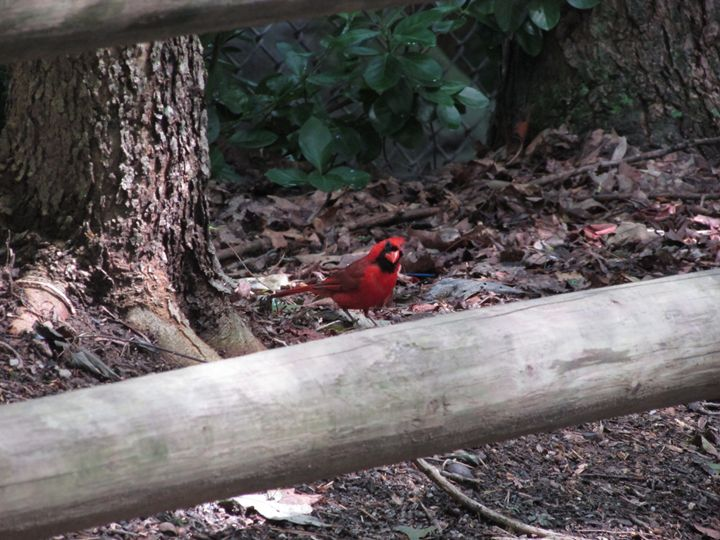 Male Cardinal - Michael