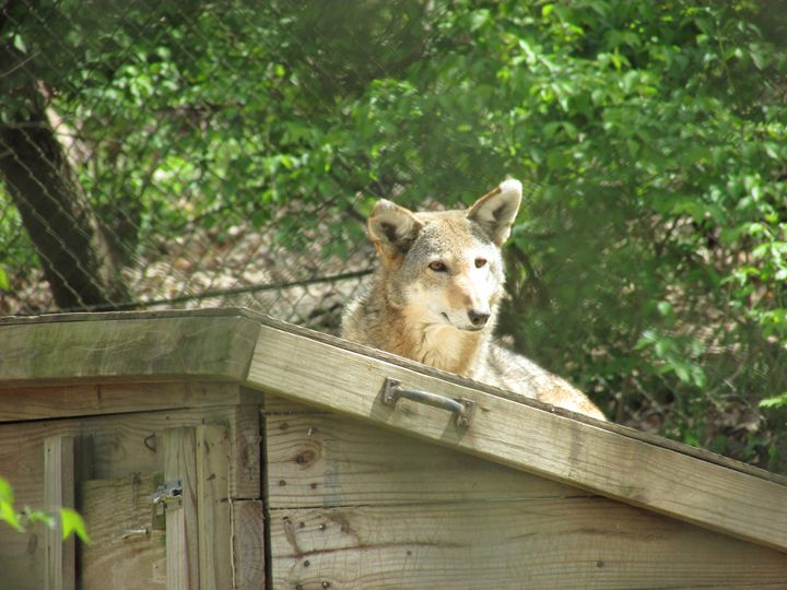 Red Wolf - Michael