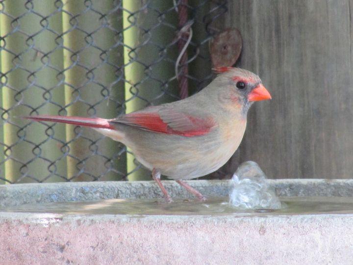 Female Cardinal - Michael