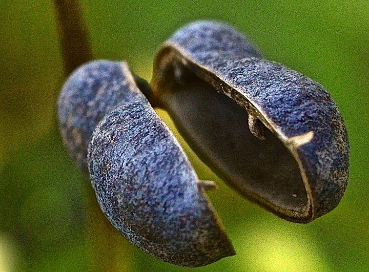 Prairie flower pod - Mark Scott Thompson