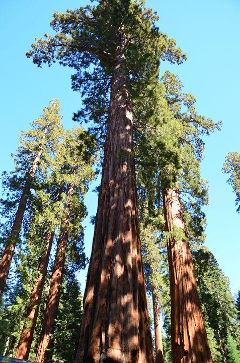 Giant Stands of Sequoias - Mark Scott Thompson