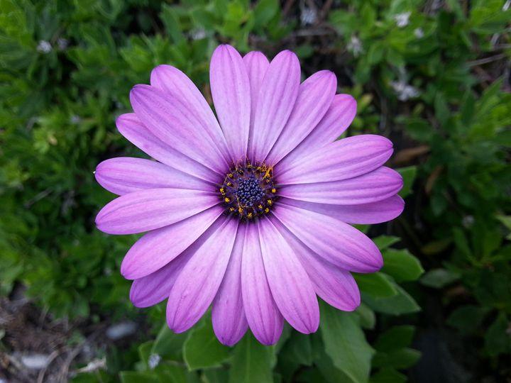 Violet Purple Sicilian Chrysanthemum - Photo Life Generation