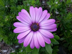 Violet Purple Sicilian Chrysanthemum