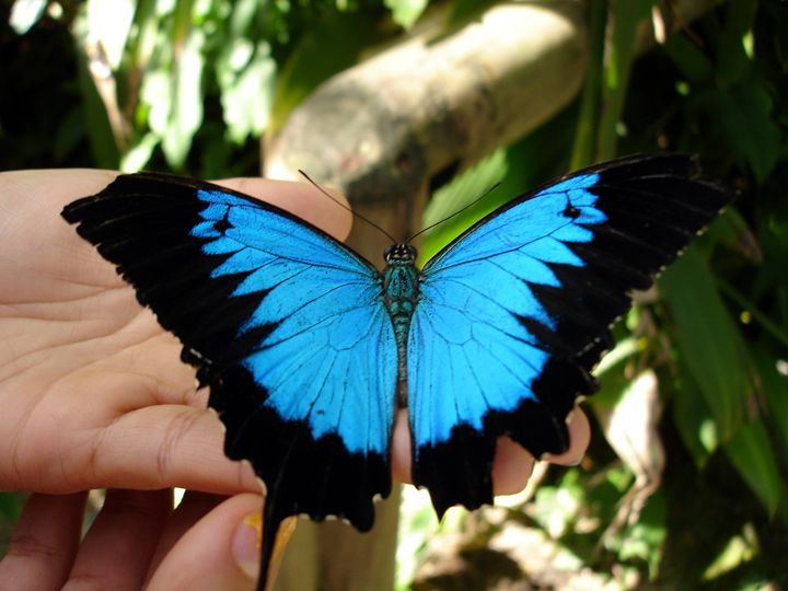Black and Blue Butterfly - Photo Life Generation