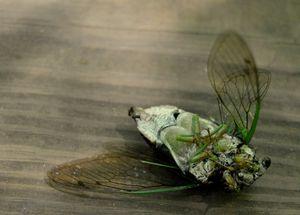 Dead Cicada - Anna Atwater
