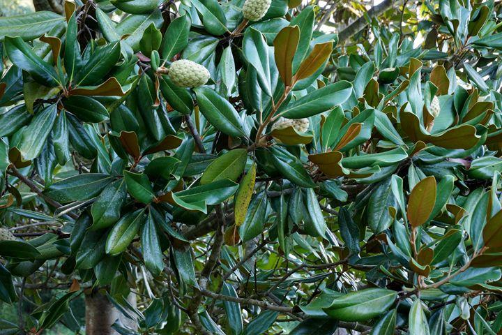 Magnolia 3 - Gritton