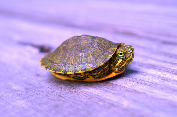 Baby Turtle - Timeless Art On Canvas