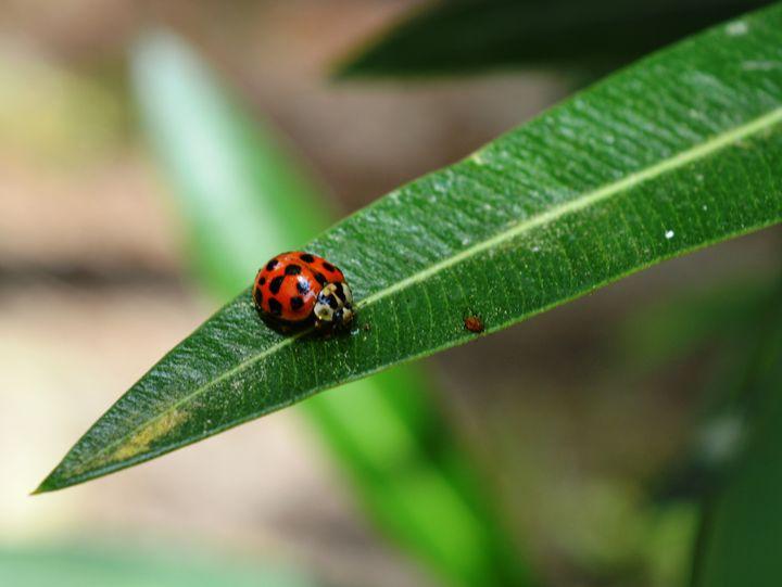 Ladybug - Timeless Art On Canvas