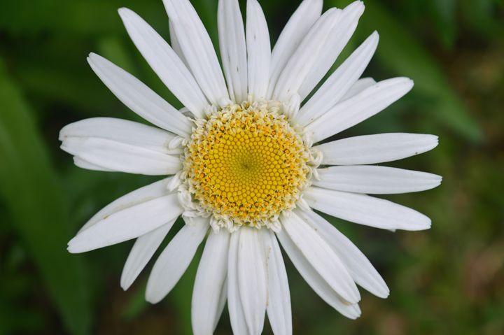 Daisy Flower in Full Bloom - Timeless Art On Canvas