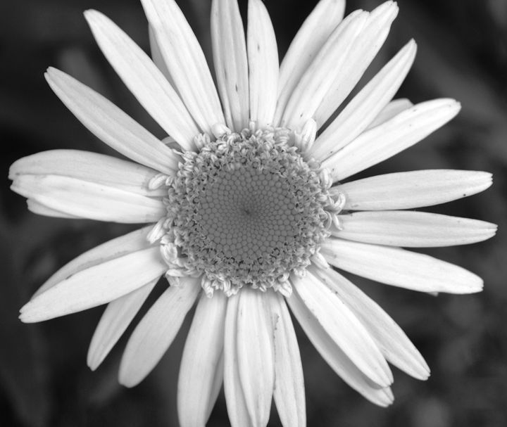 Daisy in Full Bloom black and white - Timeless Art On Canvas