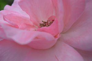 Pink Rose No 1 - Timeless Art On Canvas