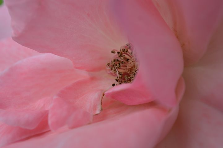 Pink Rose No. 5 - Timeless Art On Canvas