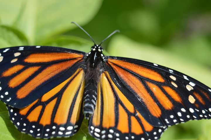 Butterfly in flight No. 3 - Timeless Art On Canvas