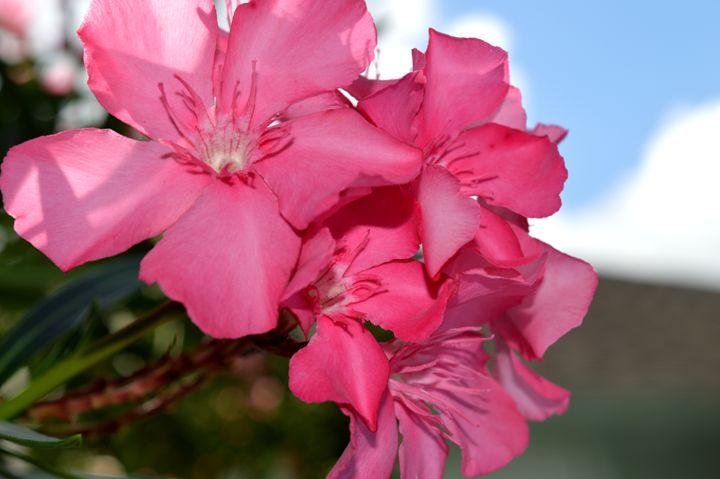 Oleander Flower Bunch - Timeless Art On Canvas