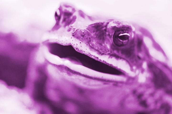 Pink Frog - Timeless Art On Canvas