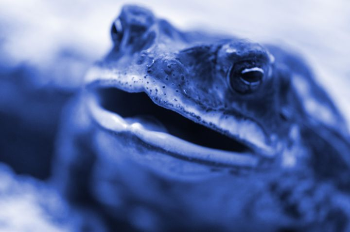 Blue Frog - Timeless Art On Canvas