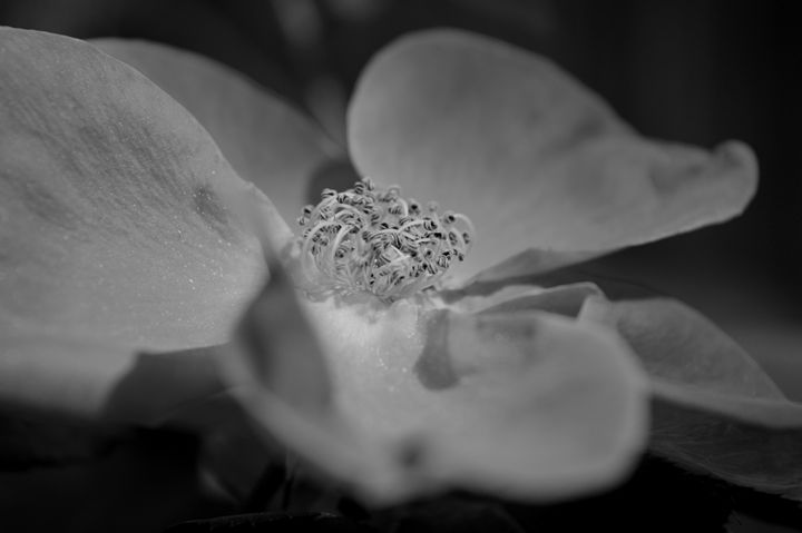 BW Rose - Timeless Art On Canvas