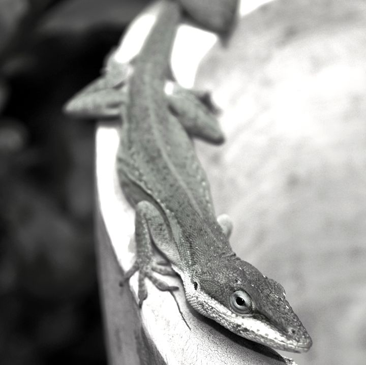 black and white Lizard - Timeless Art On Canvas