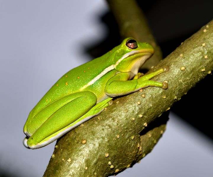 Tree Frog No.2 - Timeless Art On Canvas