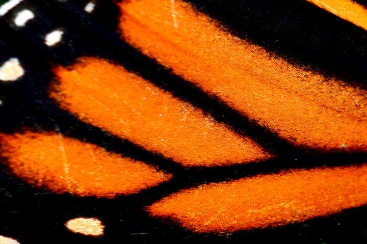 Butterfly Wing 1 - Timeless Art On Canvas