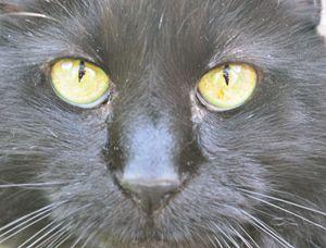 Black Cat. no. 4 - look into my eyes - Timeless Art On Canvas