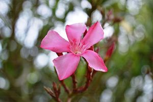 Oleander flower - Timeless Art On Canvas