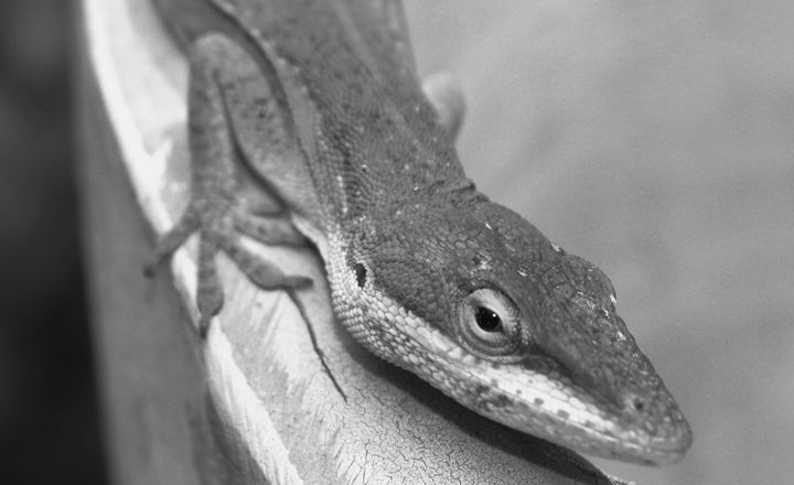Lizard in Black and White - Timeless Art On Canvas