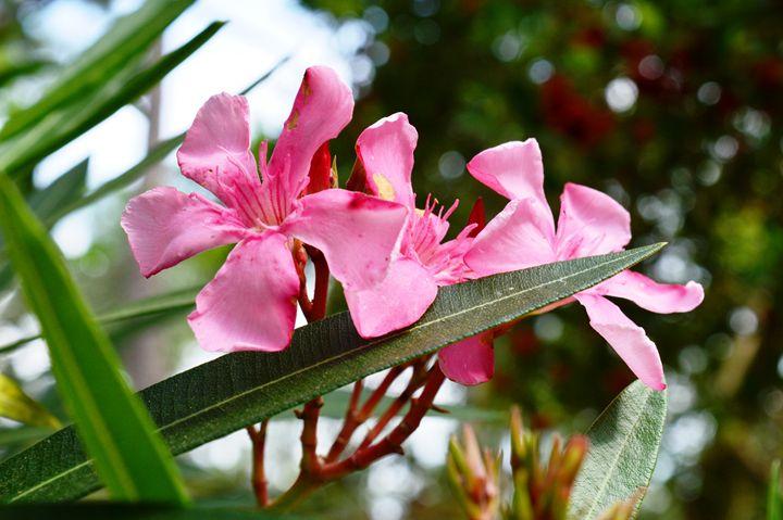 Oleander Flowers - Timeless Art On Canvas