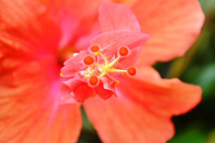 Peach Colored Hibiscus Flower - Timeless Art On Canvas