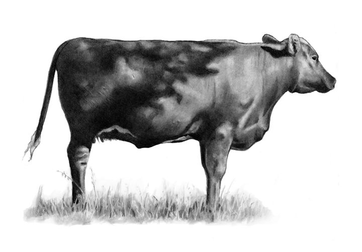 Beef Cow in The Pasture, Pencil - Joyce's Art