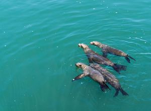 Sea Lions Family