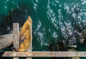 Sea Lion Nap