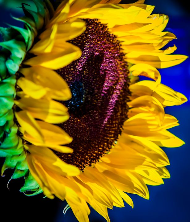 Morning Sunflower - Rodger Helwig Flower Photo Art