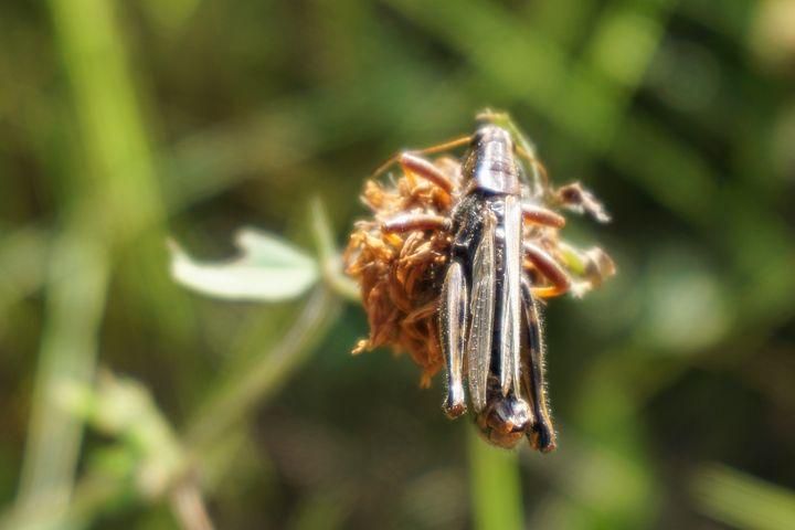 Grasshopper in Canola - Christine Solomon