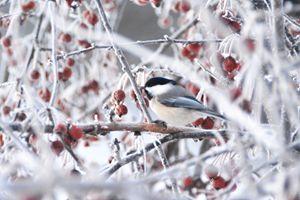 chickadee framed in frost - Wanda Nuttall