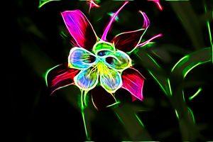 Glowing Columbine Flower