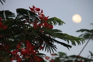 Treetop and moon