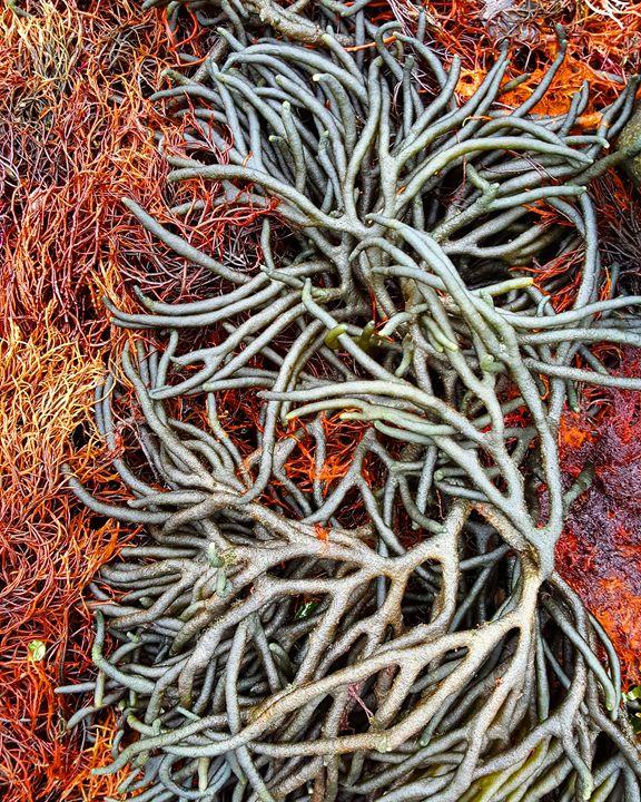 Seaweeds - The Adhizen