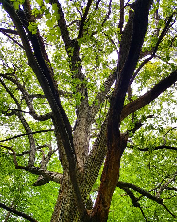 Maple Tree Sacred Ones in the Woods - The Adhizen
