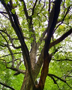 Maple Tree Sacred Ones in the Woods