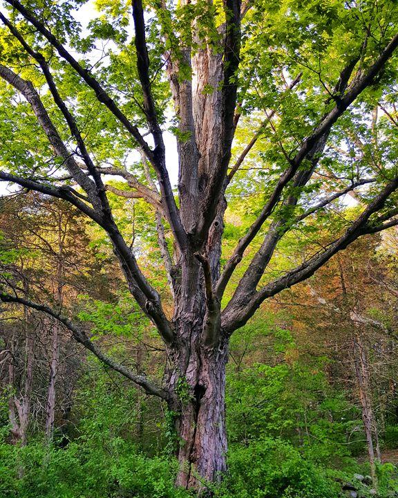 Majestic Maple - The Adhizen