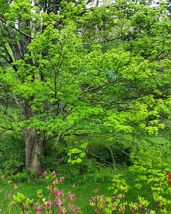 Green of Spring Maple Tree - The Adhizen