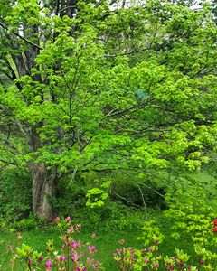 Green of Spring Maple Tree