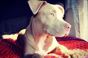 Pitbull Puppy - Angela Ennis
