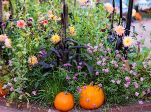 Pumpkins in the Garden - Amelia Painter Photography