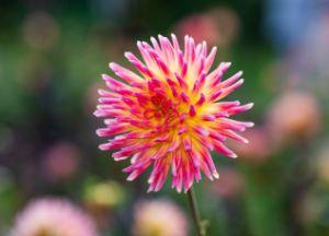 Pink and Yellow Dahlia Cactus - Amelia Painter Photography