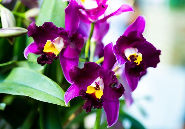 Purple Cattleya trianae in Bloom - Amelia Painter Photography