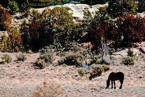 Horse Grazing in Desert